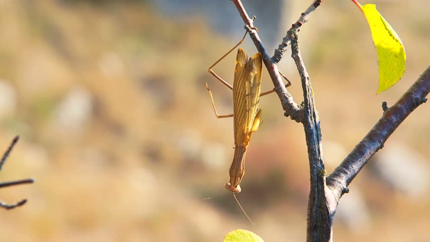 Natural camouflage. Large brown mantis lies in wait, patiently waiting for their prey.
