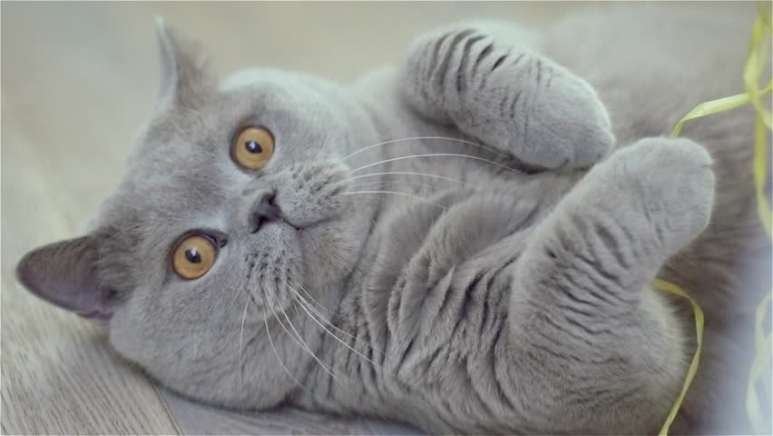 Slow motion very cute cat with big orange eyes grey scottish fold slow motion very cute cat grey scottish fold looks at the viewer with voltagebd