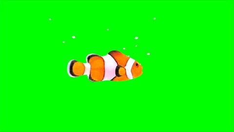 Clown Fish on green screen.  Clown Fish on green screen, passing by the camera.