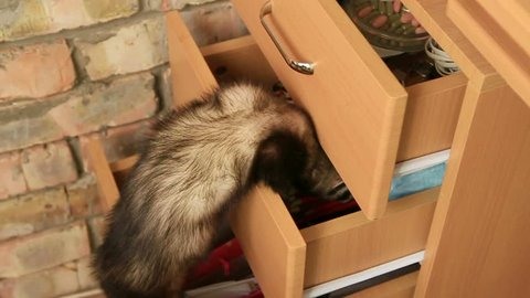 Slow Motion. Ferret searching for something in a drawer.