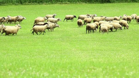 flock of sheep breeding in the green grass mountain meadow and sheep dog