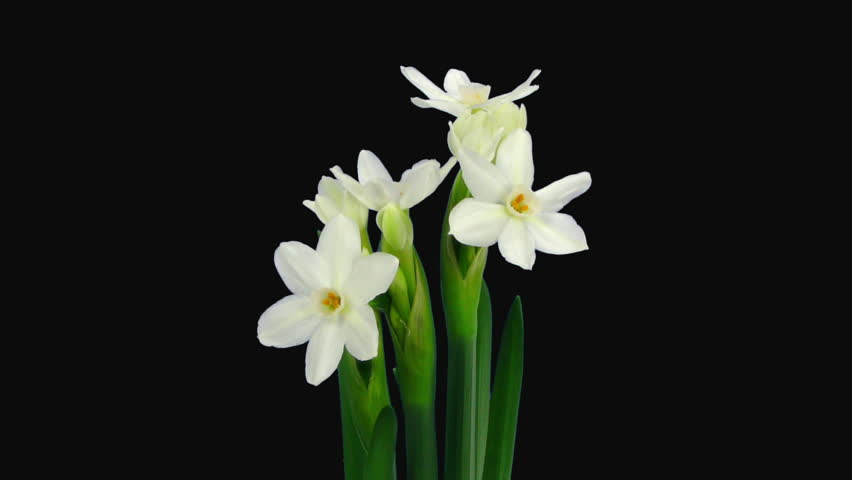 Time-lapse of Opening Narcissus Paperwhite Stock Footage Video (100 ...
