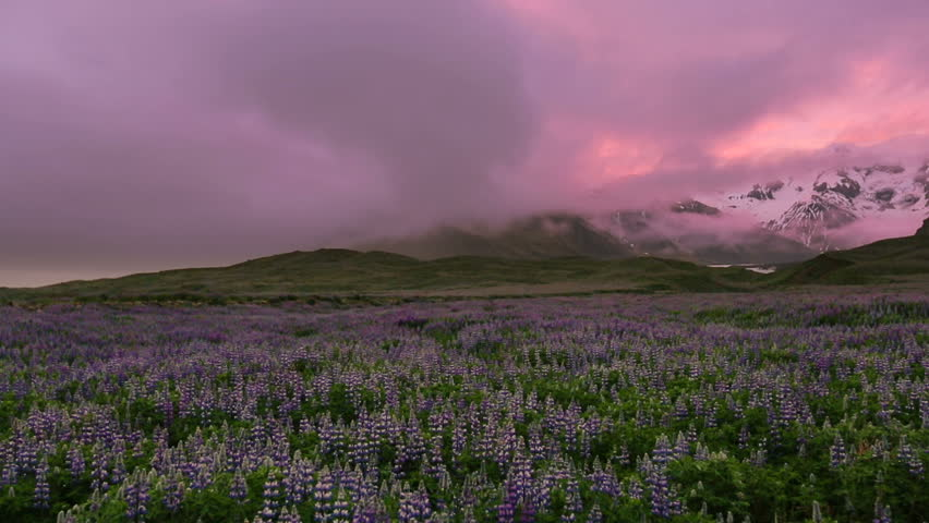 Lupine flower field with mountains. Southern Iceland.