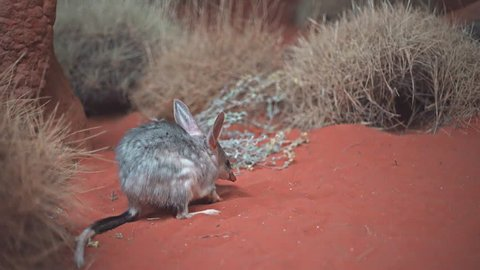 low angle view of an australian bilby feeding in a nocturnal house