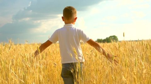 Little boy walking and touching wheat ears on the field. Kid hand touching yellow wheat ears closeup. Harvest concept. Harvesting concept. Slow motion 240 fps, HD 1080p, high speed camera