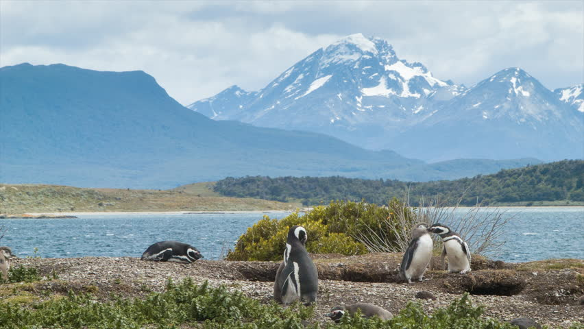 Nature Scene of Magellanic Penguins with Young Babies in Tierra del Fuego Argentina at the Southern Most Tip of South America on a Day of Sunshine