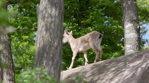 Female goat walking into forest