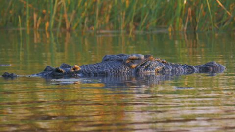 low angle close up of a large saltwater crocodile at the surface of the water-recorded at corroboree billabong near kakadu