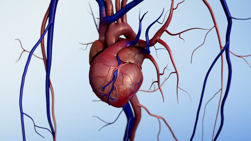 Human heart model, Full clipping path included, Human heart for medical study, Human Heart Anatomy, heart after heart attack - HD stock video clip