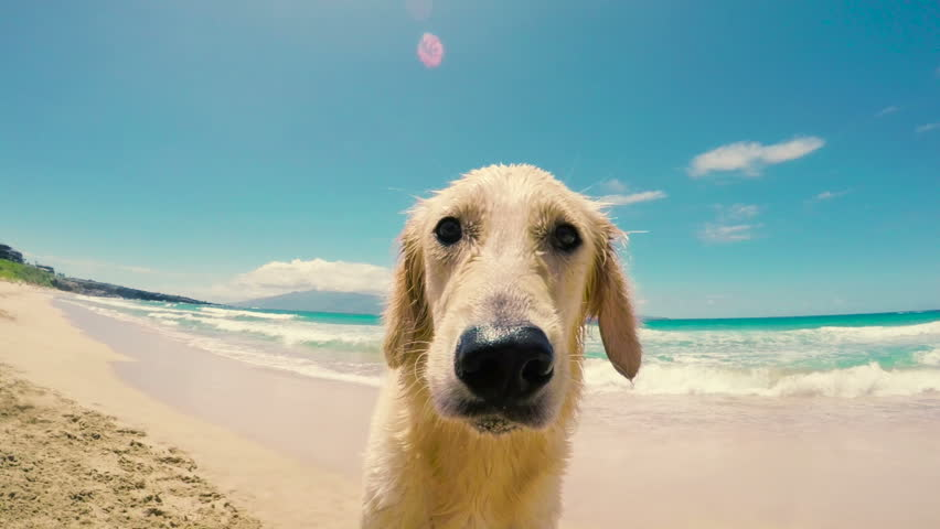 Close Up Shot of a Golden Retriever Looking into the Camera and Sniffing with his Nose at the Beach. | Shutterstock HD Video #10963181