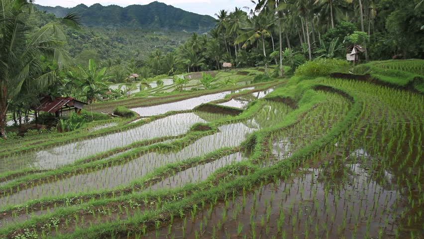 Rice terrace in Indonesia 4