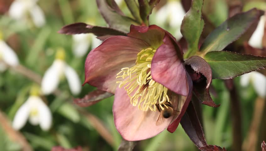 Working bee on flower - Helleborus purpurascens