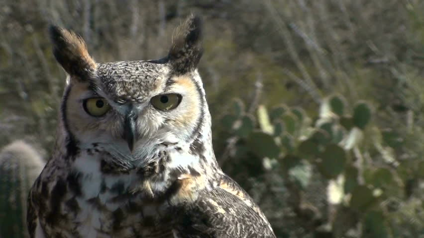 Beautiful Great Horned owl, close up, stares.  #1100488