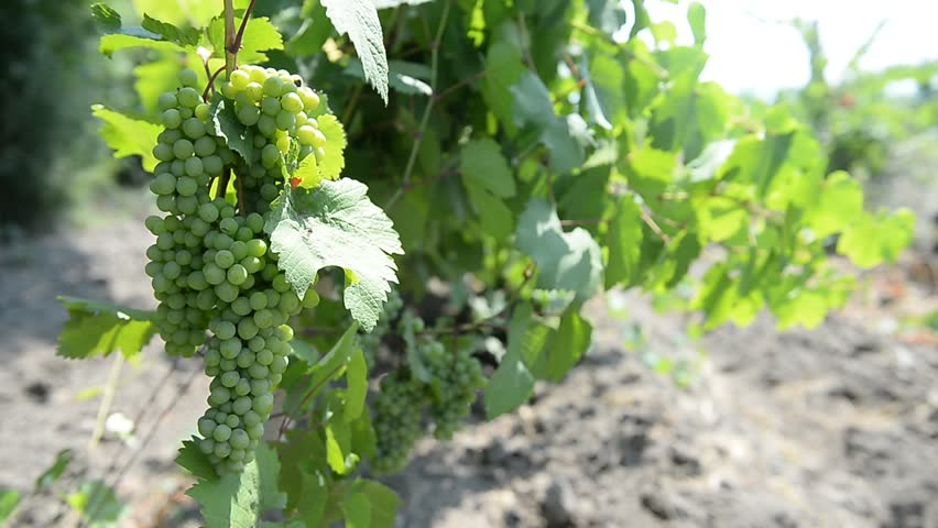 Beautiful grapes. A bunch of white grapes growing on vine branch.  | Shutterstock HD Video #11023088