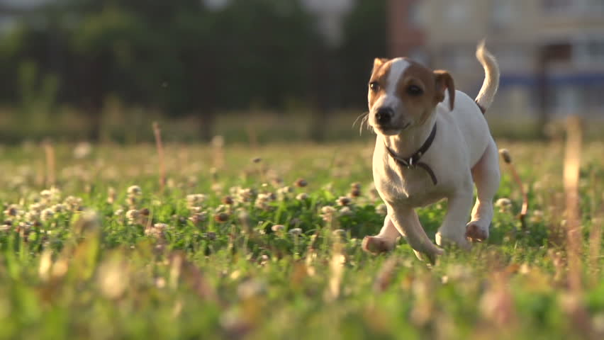 Cute Puppy Dog Jack Russell Stock Footage Video 100 Royalty Free