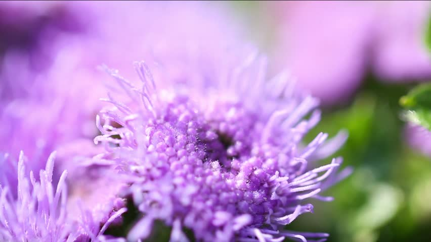 Header of ageratum