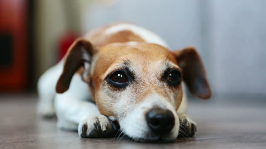 Video Dog Jack Russell Terrier Lying On A Bed Pillow In