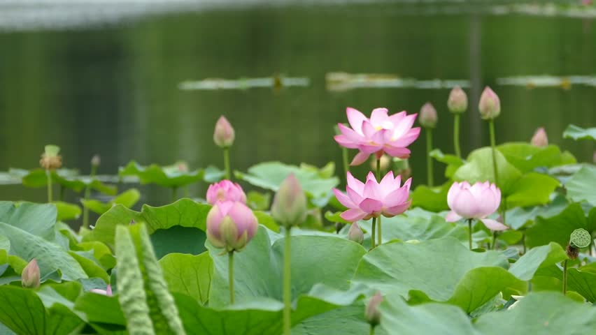Lotus Flowers And Buds That Stock Footage Video 100 Royalty Free