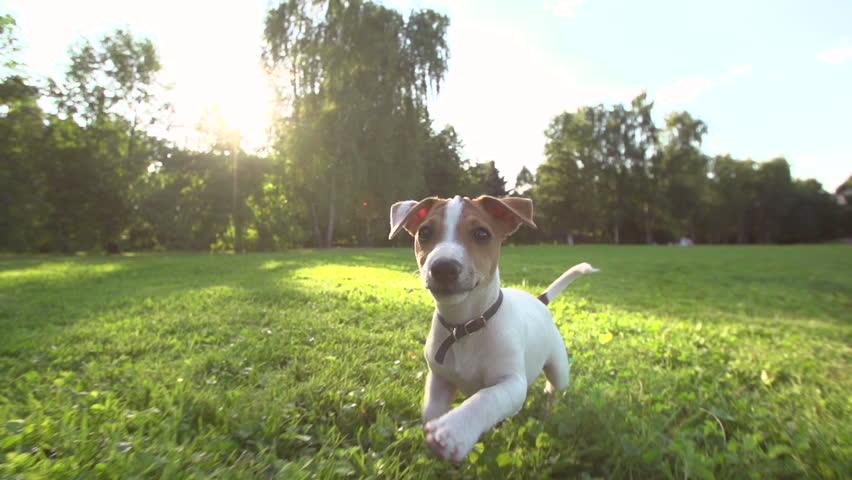 Very cute puppy Jack Russell Terrier running around the grass in the Park , slow motion,sunset, wide angle shooting, running at the camera | Shutterstock HD Video #11211878
