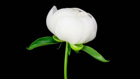 Timelapse of white peony flower blooming on black background in 4K (4096x2304)
