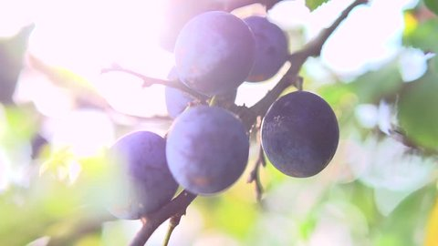 Ripe Plums on branch. Growing Plum in orchard. Organic fruits in sun flares close up. Slow motion 240 fps. HD 1080p, high speed camera