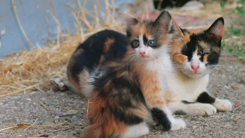 Kitty and her mom both calico cat looking at camera