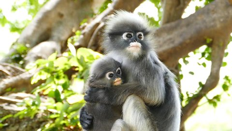 Spectacled langurs with baby on the tree at rain forest, concept slow motion.