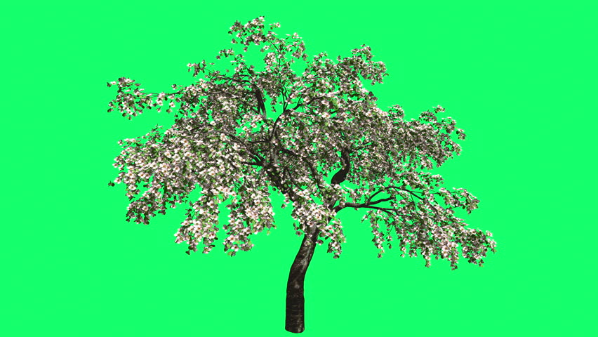 Cherry Blossoms Chromakey Swaying Tree White Flowers Branches Green Swaying Branches Red Shade Windy Croma Key Alfa Green Background Green Screen outdoors studio summer sunny day breeze