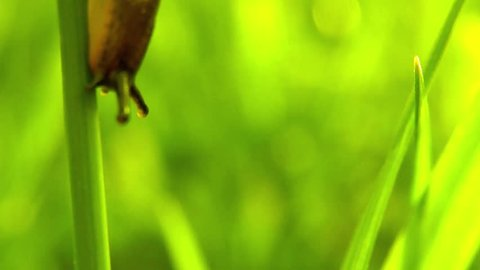 Footage of a small slug going down on a hair grass...