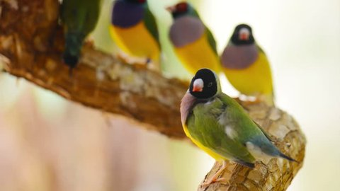 The Gouldian finch (Erythrura gouldiae), also known as the Lady Gouldian finch, Goulds finch or the rainbow finch, is a colourful passerine bird endemic to Australia.