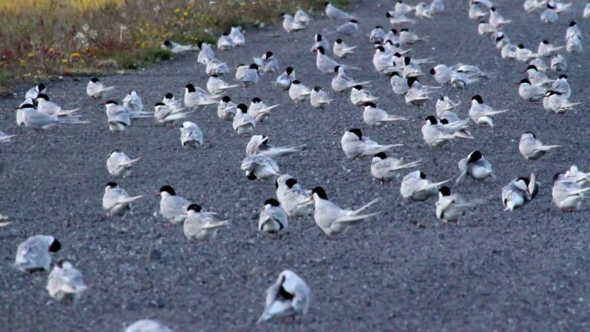 Arctic Tern Flock Beautiful shot of Arctic Tern Flock of birds