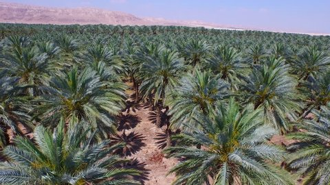 DATE PALMS, ISRAEL - CIRCA MARCH 2015:  Aerial of date palms