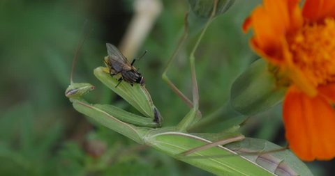 Fly is in Praying Mantis Legs Mantis Religiosa is Holding the Fly Green Mantis Is Sitting On The Marigold Flower,Orange Flower, blurred background, flowers on background, blurred flowers, buttons,
