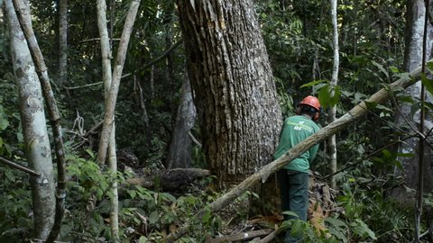 Brazil - August 2014: Deforestation in the Amazon. Large trees are cut down with chainsaws, in the middle of pristine rain forest, near Xapuri city, Acre state, Brazil.