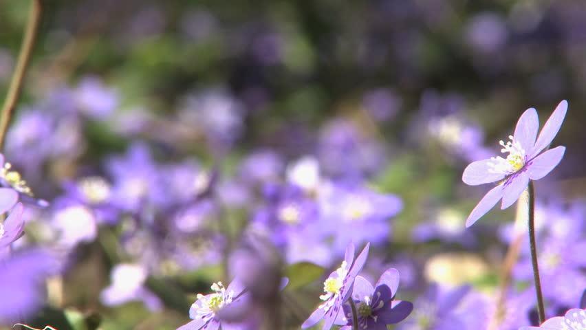 Flowering Liverwort, Hepatica Nobilis During Spring In Sweden   HD Stock  Video Clip