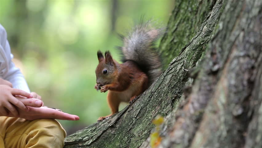 Red squirrel eat nuts from hand of a young woman.