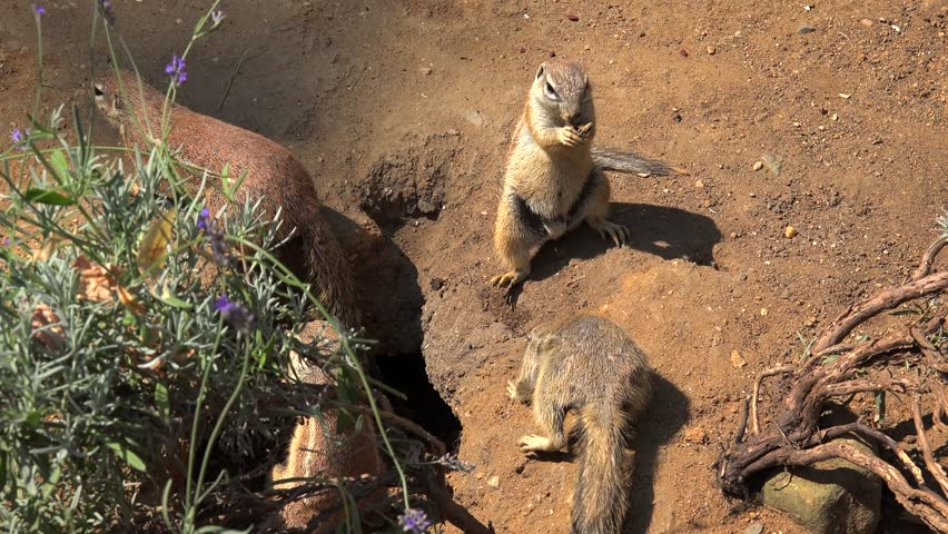 Cape ground squirrels (Xerus inauris) at burrow entrance.