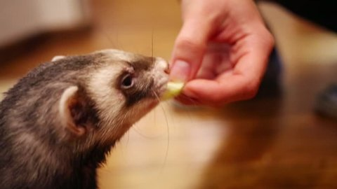 Close up portrait of funny ferret eating from hand of owner in home