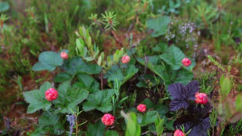 Ripe cloudberry berries with water drops is on the marshes in North Karelia, Russia