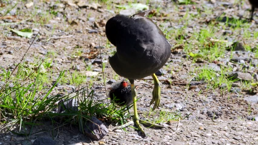 moorhen - young and adult in summer #11546018