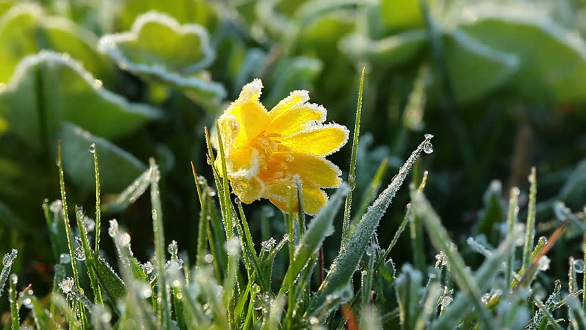 Frozen Spring Flower Stockvideos Filmmaterial 100 Lizenzfrei