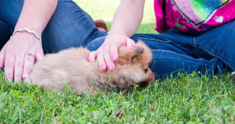 Puppy chow chow rolling around in grass being pet 4k