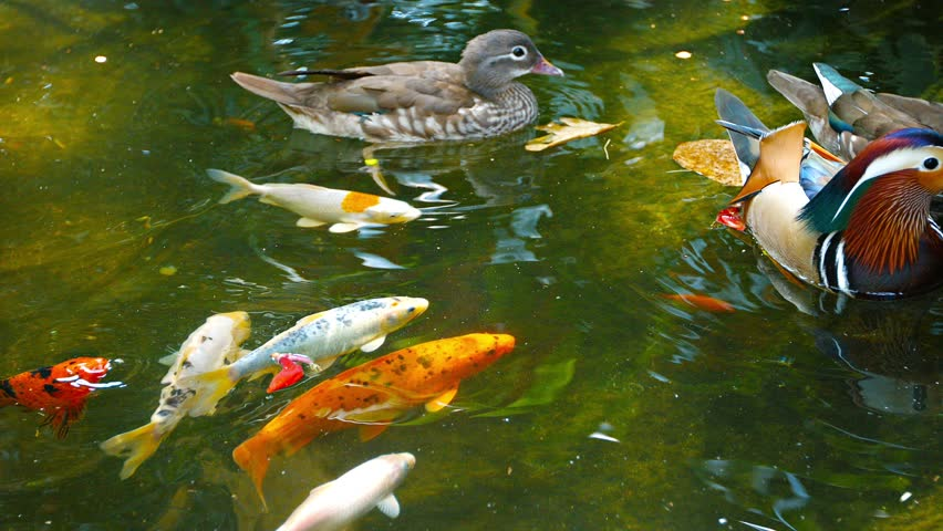 Beautiful koi fish in the fish ponds stock footage video for Golden ornamental pond fish crossword