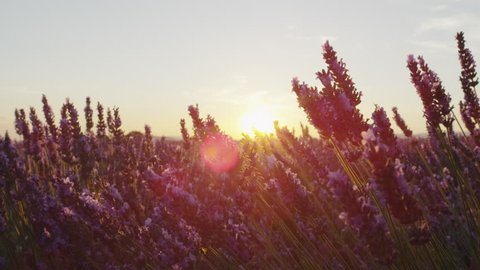 CLOSE UP: Sunset sun shining through purple lavender flowers in summer evening