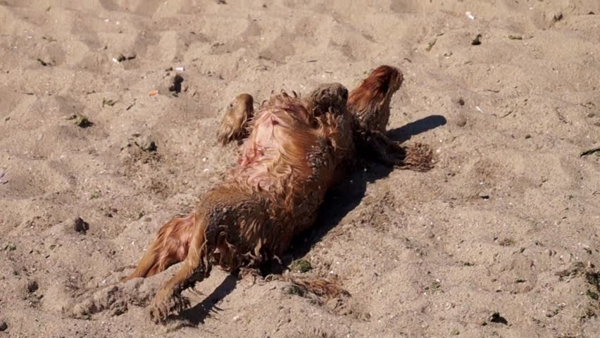 Dog wipes his coat on the sand. Dog has breed Cocker spaniel - red color.