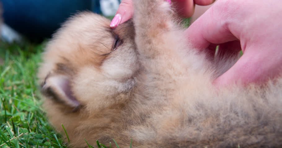 Chow chow puppy belly tickled laying grass 4k