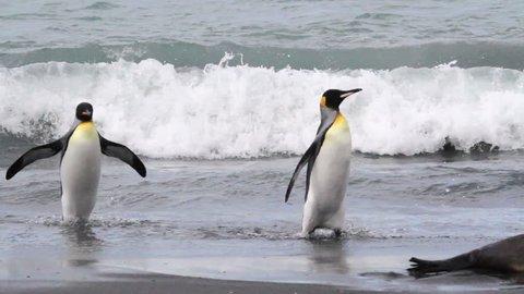 KIng penguin walking KIng penguin walking on the beach with seals in Antarctica