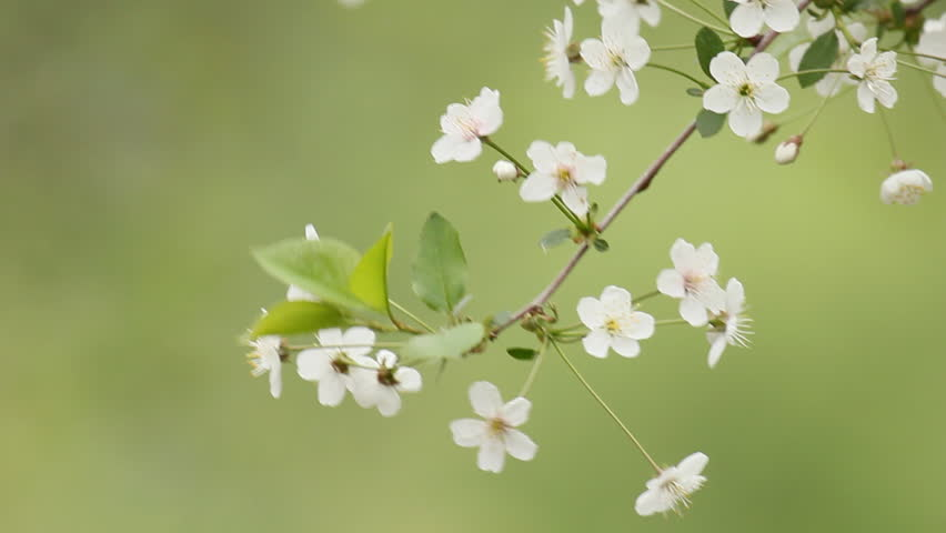 Cherry blossom flowers blowing in wind - green background. Shallow focus depth. Rack focus from blurry to front flowers