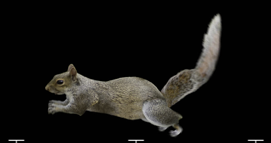 Isolated squirrel cyclical running. You can use in real coloring, and as a silhouette.
