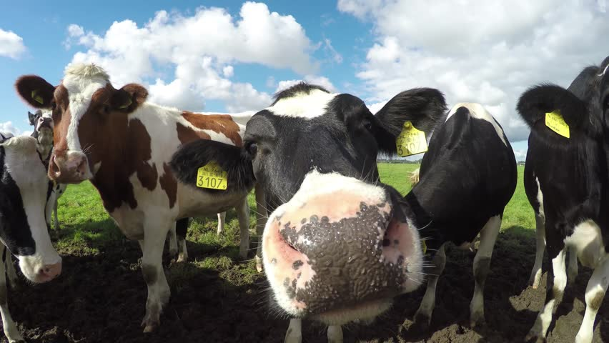 Group cattle of young and curious black white and one brown Holstein milk cows standing in the mud and smelling the camera standing close together with crisp sunny blue sky summer 4k high resolution